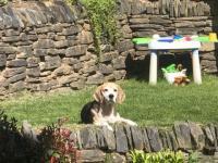 Beagle in the garden
