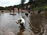 Group of dogs in large puddle.