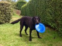 Photo of black dog with frizbee