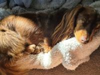 Patti the miniature Dachshund sleeping