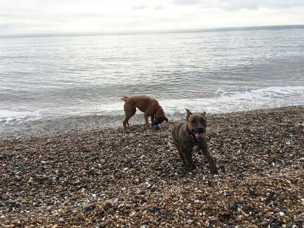 Dogs playing on a pebble beach